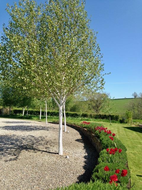 White bark birch